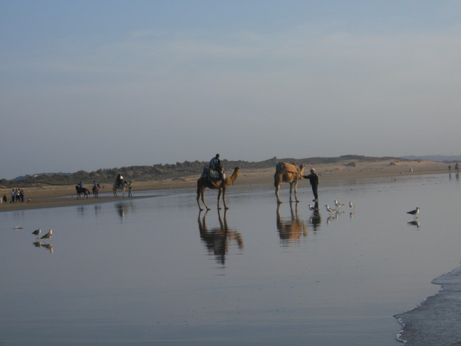 Asfi, Safi, Morocco, camels at the shore of Safi in Morocco